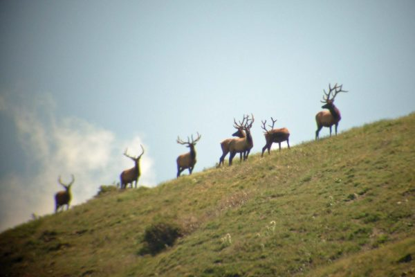 Elk above tree line